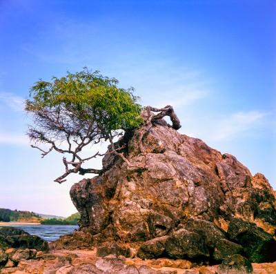 A desolat tree at Kuta beach, Lombok.