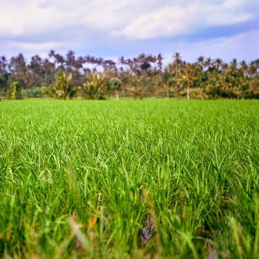 A rice field on Lombok.