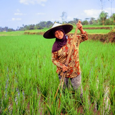 A rice farmer working on the field on Lombok.