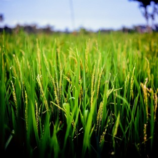 Close-up of rice plants on a rice field.