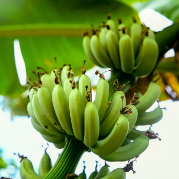 Bananas growing on a banana plant.