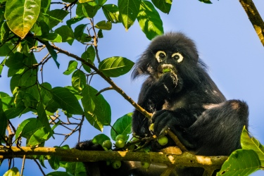 Dusky Leaf Monkey on the island of Langkawi, Malaysia. Trachypithecus obscurus